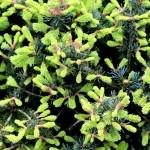 Abies lasiocarpa 'Compacta'