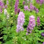Delphinium 'Magic Fountains Lilac Pink'