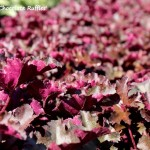 Heuchera 'Chocolate Ruffles' (3)