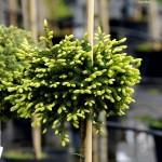 Picea orientalis Golden Star