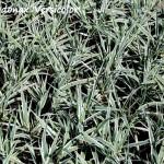 arundo donax versicolor (1)
