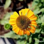 echinacea dixie sun (2)