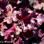 heuchera berry marmolade (2)