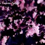 heuchera forever purple (1)