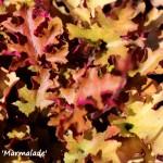 heuchera marmelade (1)