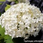 hydrangea anabelle (1)