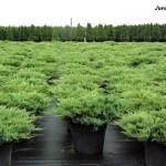 juniperus hor agnieszka