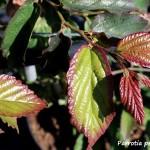 perrotia persica bella  (1)