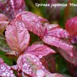 spirea jap macrophylla