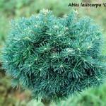 Abies lasiocarpa 'Green Globe'