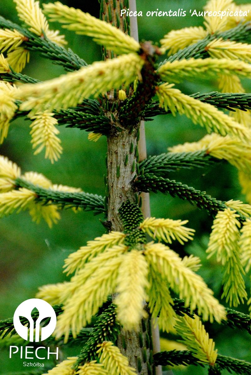picea or aureospicata