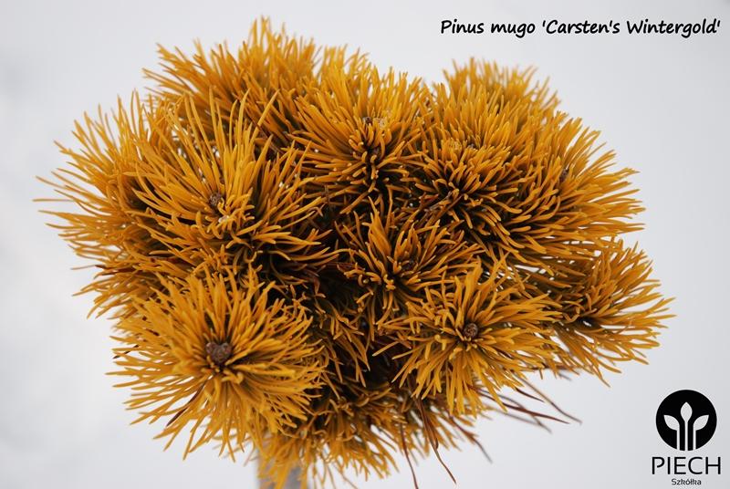 pinus mugo carsten wintergold