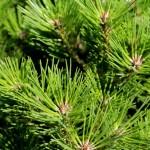 pinus nigra globosa