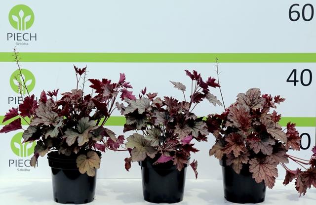 Heucherella Plum Cascade ®