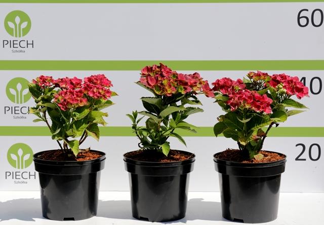 Hydrangea macrophylla Camilla ®