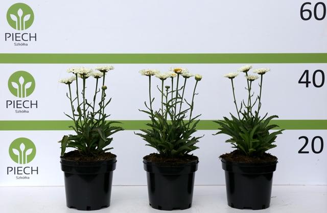 Leucanthemum × superbum Real Neat