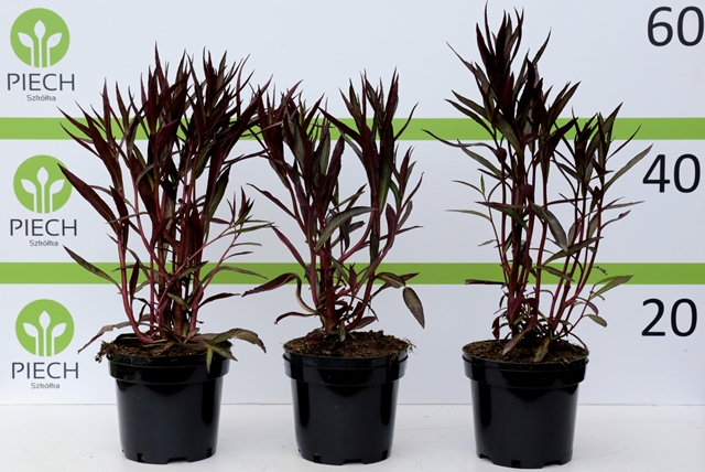 Lobelia × speciosa Russian Pincess