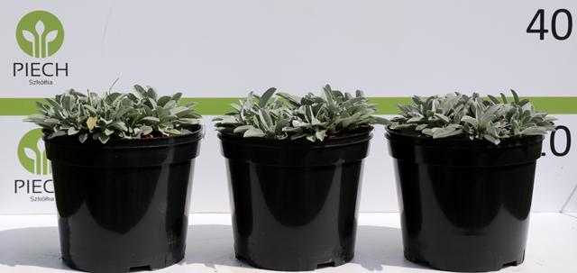 Veronica spicata Silberteppich